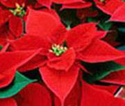 On Sale Now – Festive Poinsettias!